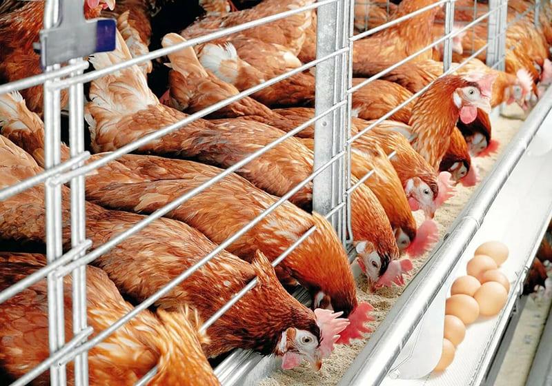 Кур кормят антибиотиками