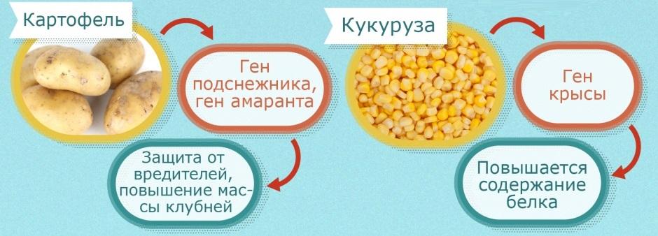 ГМО в картофеле и кукурузе