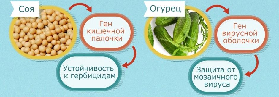 ГМО в сое и огурцах