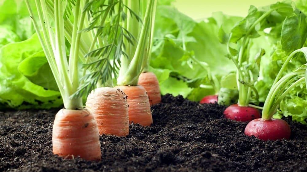 Редис и морковь в земле