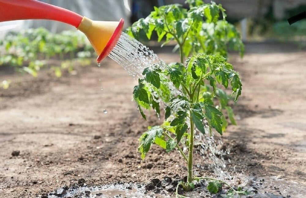 Выращивание томатов на ферме