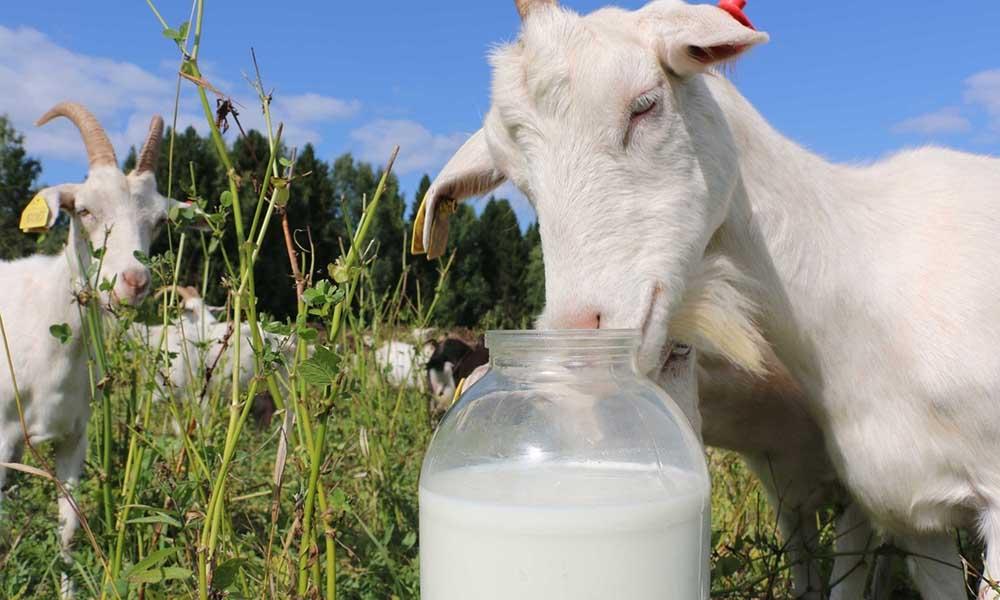 Козье молоко для масла